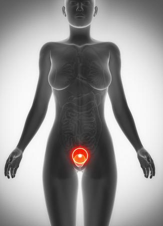 anatomy naked woman: Female bladder anatomy  pain concept
