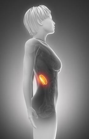Female Niere Anatomie Röntgenscan Lizenzfreie Fotos, Bilder Und ...