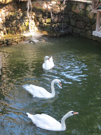 Three White Swans in the Pond Standard-Bild