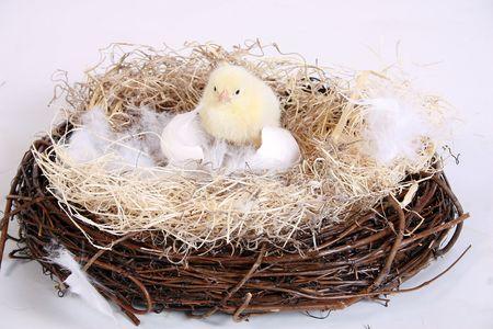 newborn chick in a grapevine birds nest. photo