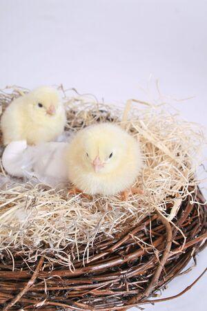 Adorable little newborn  Easter chicks. photo