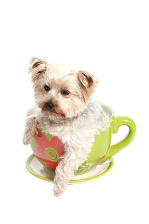Little Yorkshire terrier in a big tea cup.
