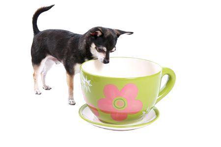 little dog looking in a big cup Stock Photo