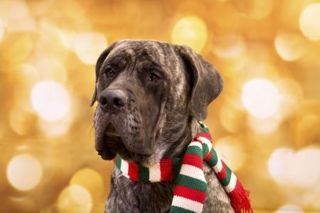 English Mastiff dog with christmas lights for background and  a scarf