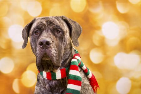 English Mastiff dog with christmas scarf and lights in background
