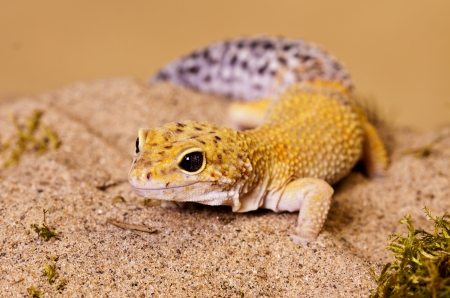 Large fat tailed gecko with yellow markings walking in sand