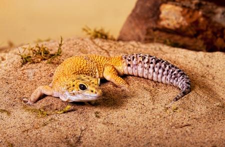 Big male yellow gecko walking in the sand