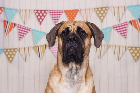 Mastiff dog getting his portrait taken. They are for his first birthday, see the banners in background.