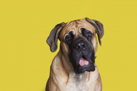 English Mastiff young dog sitting pretty for his picture.