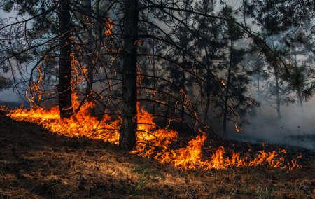 Feuer. Lauffeuer bei Sonnenuntergang, brennender Kiefernwald in Rauch und Flammen. Standard-Bild