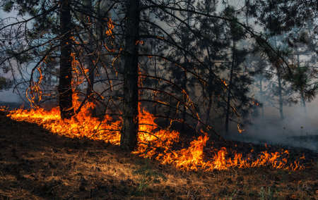 fire. wildfire at sunset, burning pine forest in the smoke and flames. Banque d'images