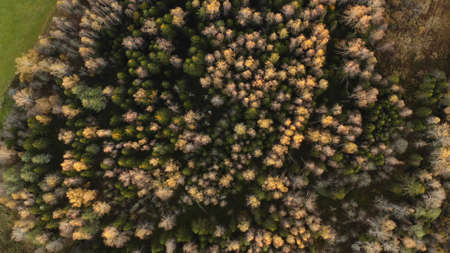 Early autumn in forest aerial top view. Mixed forest, green conifers, deciduous trees with yellow leaves. Fall colors countryside woodland. Drone zoom out spins above colorful texture in nature