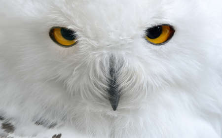 white polar owl sitting on a stick in the zoo Banque d'images