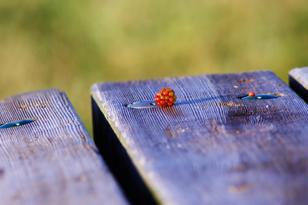 Wild raspberry atop picnic bench