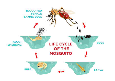 Life Cycle of the Mosquito. Diagram poster template from egg hatching to larva and pupa development stages until pregnant adult produces eggs. Editable ESP10 vector and large jpg illustration. Vettoriali