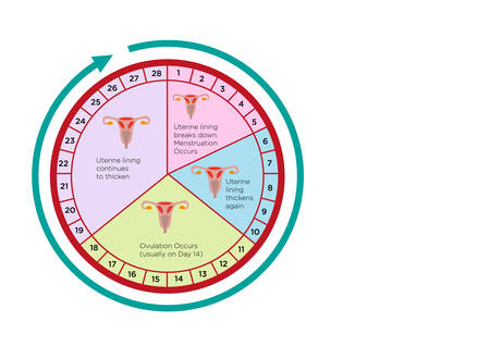Women's Fertility Cycle Calendar Chart with different stages. Editable Clip Art.
