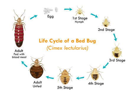 bed: Life Cycle of the Bed Bug Illustration