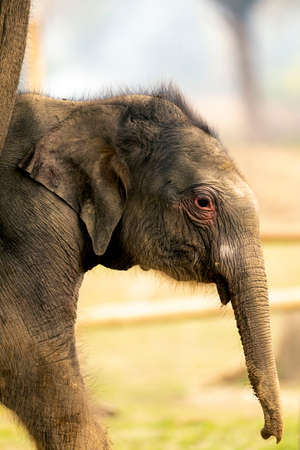 This Baby Elephant birth by only four days. Elephant breeding center citwan national park Nepal
