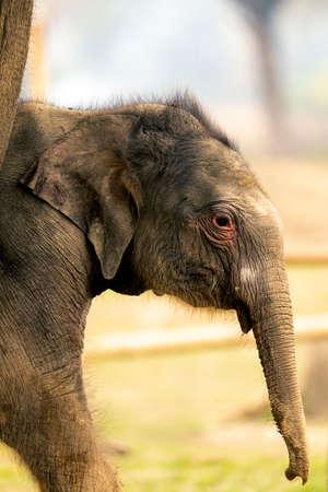 这个婴儿象的象鼻只有四天。大象繁殖中心花旗乡公园尼泊尔