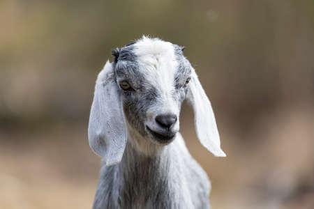 cute Baby goat posing camera