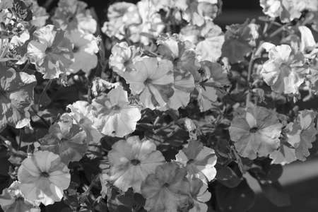 Black and white Fower patten of Morning Glory flowers