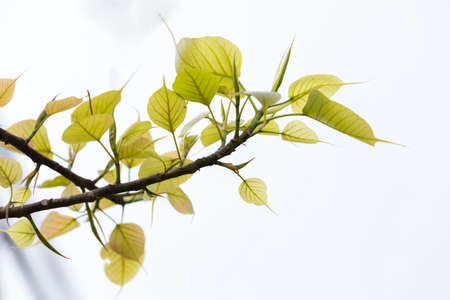 Green leaves on a white background,Peepal tree branch and leaves, Sacred Tree for Hindus and Buddhist.in Pokhara Nepal