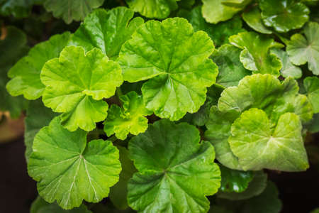 leaves of geranium plant with round shape and green color,Centella asiatica, commonly known as centella, Asiatic pennywort.