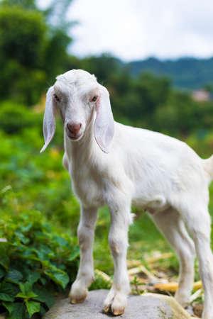 Beautiful cute baby goat, posing to camera, Pokhara Nepal