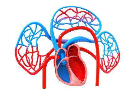 Human blood circulatory system