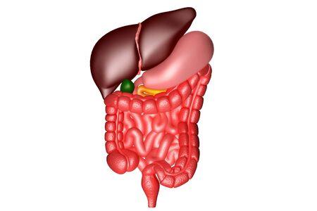 Human digestive system anatomy.3d render