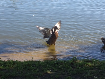 otganimalpets01: Duck flapping wings