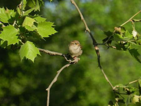 Female Sparrow on Sycamore branch Banco de Imagens