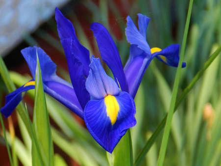 Nederlandse Iris in bloei