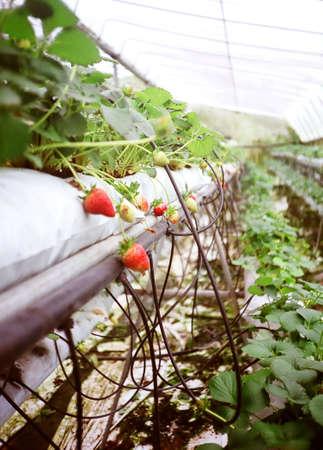 cameron highlands: Strawberries at Cameron Highlands