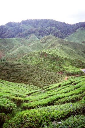 cameron highlands: Tea plantation at Cameron highlands