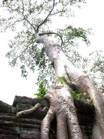 khan: Tree at Preah Khan, Angkor, Cambodia
