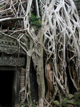 rooted: Rooted scene at Ta Prohm, Angkor, Cambodia