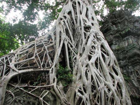 strangler: Rooted scene at Ta Prohm, Angkor, Cambodia