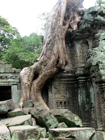 Rooted scene at Ta Prohm, Angkor, Cambodia
