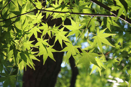 Green maple leaves at Rear Garden of Changdeokgung Palace in Seoul, South Korea  photo