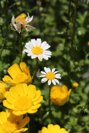 White and yellow daisy flowers in garden Stock Photo