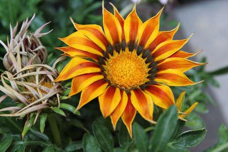 splendens: Gazania splendens Kiss Yellow Flame in garden Stock Photo