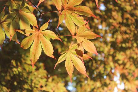 Maple leaves at Namsan Park in Seoul, South Korea