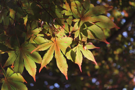 Maple leaves at Namsan Park in Seoul, South Korea  photo