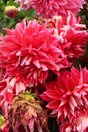 満開の赤とピンクのダリアとラサ ノルブリンカー (夏の宮殿)、チベット、中国で枯れた 写真素材