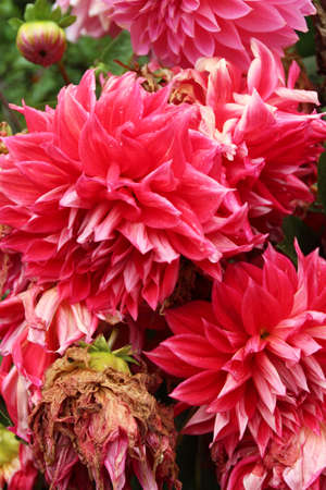 withered: Red and pink dahlias in bloom and withered in the Lhasa Norbulingka (Summer Palace), Tibet, China