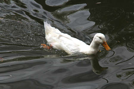 webbed: A white duck paddling around in the Lhasa Norbulingka (Summer Palace), Tibet, China