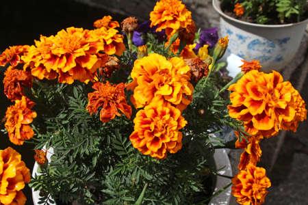 Orange marigolds with dew in the Lhasa Norbulingka (Summer Palace), Tibet, China