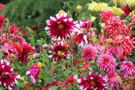 flowerbed: Red and pink dahlias in bloom and withered in the Potala Palace, Lhasa, Tibet, china