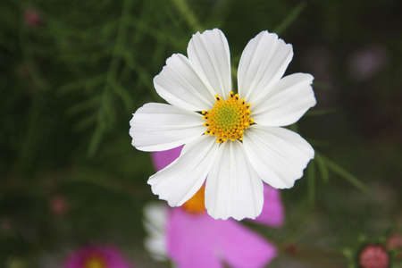 Close up of white cosmos (Cosmos bipinnatus) at Potala Place in Lhasa, Tibet Stock Photo
